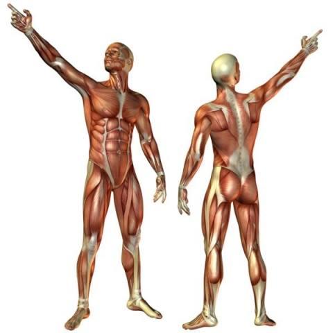 Układ mięśniowy